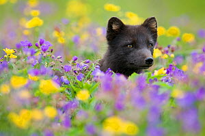 Arctic fox (Vulpes / Alopex lagopus) in a wild flower meadow, dark summer phase, Hornstrandir, Iceland, July 2008 - Wild Wonders of Europe / O. Haar