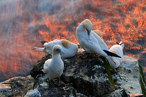 Northern gannets (Morus bassanus) on a cliff, Langanes peninsula, Iceland, July 2008 - Orsolya Haarberg