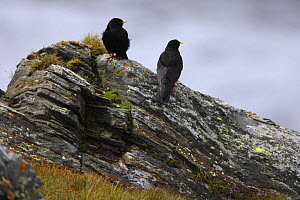 Two Alpine choughs (Pyrrhocorax graculus) on a rock, Hohe Tauern National Park, Austria, July 2008  -  Wild Wonders of Europe / Lesniewski
