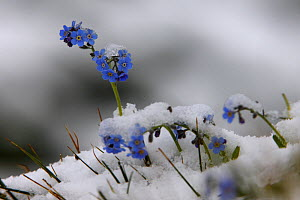 Alpine forget-me-not (Myosotis sp) flowers in the snow, Hohe Tauern National Park, Austria, July 2008 - Wild Wonders of Europe / Lesniewski