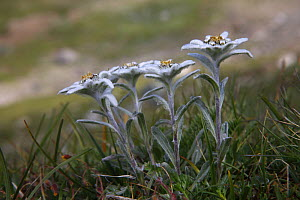 Edelweiss (Leontopodium alpinum) flowers, Hohe Tauern National Park, Austria, July 2008  -  Wild Wonders of Europe / Lesniewski