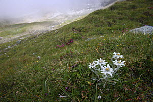 Alpine flowers including Edelweiss (Leontopodium alpinum) Hohe Tauern National Park, Austria, July 2008  -  Wild Wonders of Europe / Lesniewski