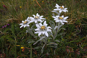 Edelweiss (Leontopodium alpinum) Hohe Tauern National Park, Austria, July 2008  -  Wild Wonders of Europe / Lesniewski