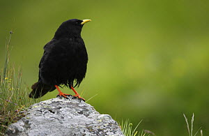 Alpine chough (Pyrrhocorax graculus) on a rock, Hohe Tauern National Park, Austria, July 2008  -  Wild Wonders of Europe / Lesniewski