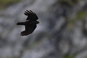 Alpine chough (Pyrrhocorax graculus) in flight, Hohe Tauern National Park, Austria, July 2008  -  Wild Wonders of Europe / Lesniewski