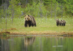 Eurasian brown bear (Ursus arctos) mother with cubs, Suomussalmi, Finland, July 2008  -  Wild Wonders of Europe / Widstrand