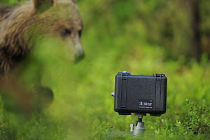 Eurasian brown bear (Ursus arctos) looking at camera in protective case, Suomussalmi, Finland, July 2008  -  Wild Wonders of Europe / Widstrand