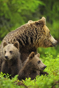 Eurasian brown bear (Ursus arctos) mother with two cubs, Suomussalmi, Finland, July 2008  -  Wild Wonders of Europe / Widstrand