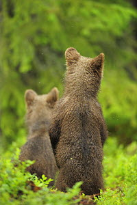 Eurasian brown bear (Ursus arctos) two cubs  standing rear view, Suomussalmi, Finland, July 2008  -  Wild Wonders of Europe / Widstrand