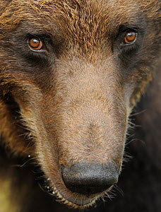 RF- Eurasian brown bear (Ursus arctos) close-up of face, Suomussalmi, Finland. July. - Wild  Wonders of Europe / Widstrand