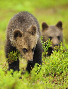 Two Eurasian brown bear (Ursus arctos) cubs, Suomussalmi, Finland, July 2008  -  Wild Wonders of Europe / Widstrand