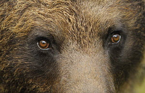 Eurasian brown bear (Ursus arctos) close-up of face, Suomussalmi, Finland, July 2008  -  Wild Wonders of Europe / Widstrand