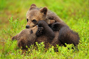 RF- Two Eurasian brown bear (Ursus arctos) cubs play fighting, Suomussalmi, Finland. July. (This image may be licensed either as rights managed or royalty free.)  -  Wild  Wonders of Europe / Widstrand