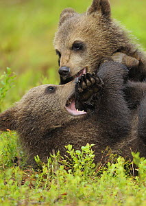Two Eurasian brown bear (Ursus arctos) cubs fighting, Suomussalmi, Finland, July 2008  -  Wild Wonders of Europe / Widstrand
