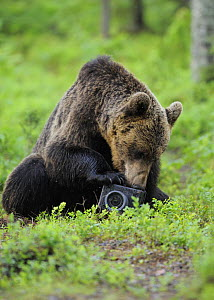 Eurasian brown bear (Ursus arctos) investigating camera, Suomussalmi, Finland, July 2008  -  Wild Wonders of Europe / Widstrand