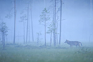 Wild European Grey wolf (Canis lupus) silhoutted in mist, Kuhmo, Finland, July 2008  -  Wild Wonders of Europe / Widstrand