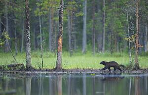 Wild Eurasian wolverine (Gulo gulo) walking along waters edge, Kuhmo, Finland, July 2008 - Wild Wonders of Europe / Widstrand
