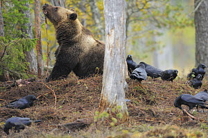 Eurasian brown bear (Ursus arctos)  on top of buried carcass, surrounded by Common ravens (Corvus corax) Kuhmo, Finland, September 2008  -  Wild Wonders of Europe / Widstrand