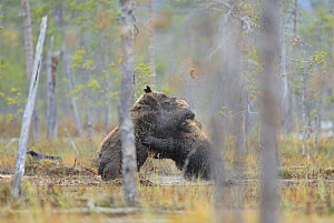 Two Eurasian brown bears (Ursus arctos) fighting over carcass with a Common raven nearby, Kuhmo, Finland, September 2008  -  Wild Wonders of Europe / Widstrand