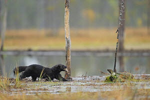Wolverine (Gulo gulo) carrying prey, wading through mud, Kuhmo, Finland, September 2008 - Wild Wonders of Europe / Widstrand
