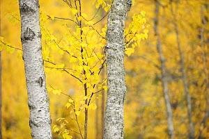 Silver Birch trees (Betula verrucosa) Oulanka, Finland, September 2008 - Wild Wonders of Europe / Widstrand