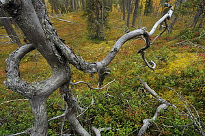 Old growth, Siberian forest, Oulanka, Finland, September 2008  -  Wild Wonders of Europe / Widstrand