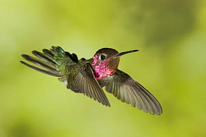 Anna's hummingbird {Calypte anna} in flight, southern Arizona, USA.  -  Mary McDonald