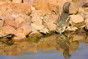 Harris's Antelope Squirrel (Ammospermophilus harrisii) drinking from a water hole, Southern Arizona, USA. Endangered. - Mary McDonald