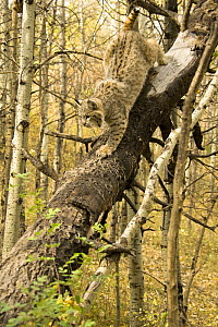 Bobcat {Lynx rufus} climing down tree trunk, controlled situation, captive, Montana, USA.  -  Mary McDonald