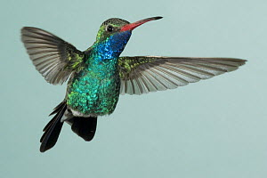 Broad-billed hummingbird {Cynanthus latirostris} hovering, SW Arizona, USA.  -  Mary McDonald