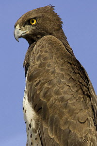 Martial eagle {Polemaetus bellicosus} perched, Samburu NP, Kenya  -  Mary McDonald