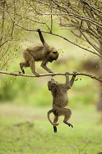 Two young Olive baboons {Papio anubis} playing with each other in the Upper Masai Mara GR, Kenya  -  Mary McDonald