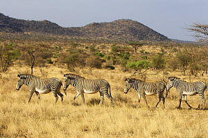 Grevy zebra (Equus grevyi) walking in a line, Samburu, Kenya, September 2008 - Piper Mackay