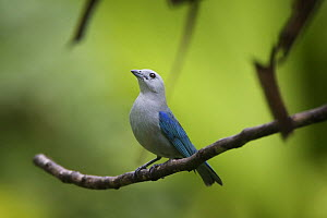 Blue-gray tanager (Thraupis episcopus) perched, Panama  -  Piper Mackay