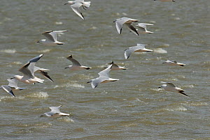Slender billed gulls (Chroicocephalus genei) in flight over sea, Camargue, France, April  -  Jean E. Roche