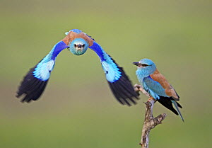 European Roller (Coracias garrulus) pair, one in flight, Pusztaszer, Hungary, May 2008 - Wild Wonders of Europe / Varesvuo