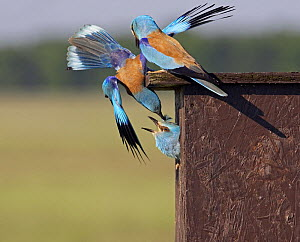 European Roller (Coracias garrulus) attacking intruder Roller in nestbox, Pusztaszer, Hungary, May 2008  -  Wild Wonders of Europe / Varesvuo