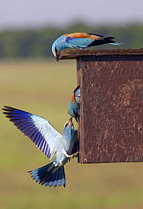 European Roller (Coracias garrulus) pulling intruder Roller out of nestbox, Pusztaszer, Hungary, May 2008 - Wild Wonders of Europe / Varesvuo