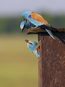European Roller (Coracias garrulus) pair with intruder Roller in nestbox, Hungary May 2008  -  Wild Wonders of Europe / Varesvuo