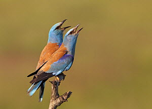 European Roller (Coracias garrulus) pair vocalising, Pusztaszer, Hungary, May 2008 - Wild Wonders of Europe / Varesvuo