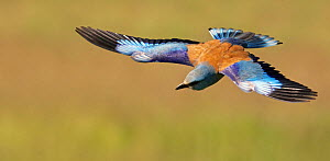 European Roller (Coracias garrulus) in flight, Pusztaszer, Hungary, May 2008 - Wild Wonders of Europe / Varesvuo