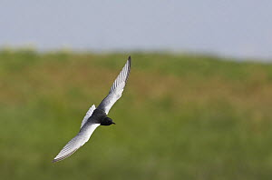White-winged black tern (Chlidonias leucoptera) in flight, Pusztaszer, Hungary, May 2008  -  Wild Wonders of Europe / Varesvuo