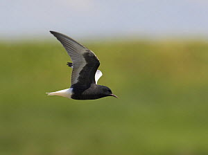White-winged black tern (Chlidonias leucoptera}  in flight, Pusztaszer, Hungary, May 2008  -  Wild Wonders of Europe / Varesvuo