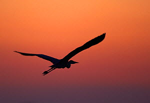 Grey Heron (Ardea cinerea) silhouette in flight at sunset, Pusztaszer, Hungary, May 2008  -  Wild Wonders of Europe / Varesvuo