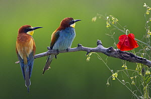 European Bee-eater (Merops apiaster) perched beside poppy flower, Pusztaszer, Hungary, May 2008  -  Wild Wonders of Europe / Varesvuo