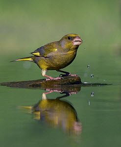 Greenfinch (Carduelis chloris) drinking, Pusztaszer, Hungary, May 2008  -  Wild Wonders of Europe / Varesvuo