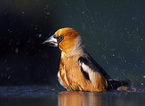 Hawfinch (Coccothraustes coccothraustes) bathing, Pusztaszer, Hungary, May 2008  -  Wild Wonders of Europe / Varesvuo