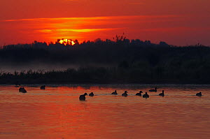 Flock of Coot (Fulica atra) on lake at sunset, Pusztaszer, Hungary, May 2008  -  Wild Wonders of Europe / Varesvuo