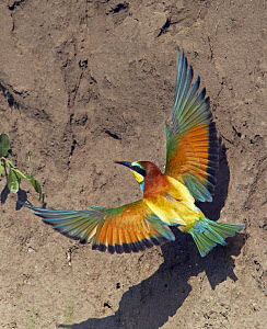 European Bee-eater (Merops apiaster) flying to nest hole in bank, Pusztaszer, Hungary, May 2008 - Wild Wonders of Europe / Varesvuo