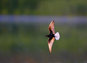 White-winged tern (Chlidonias niger) in flight, backlit, Pusztaszer, Hungary, May 2008  -  Wild Wonders of Europe / Varesvuo
